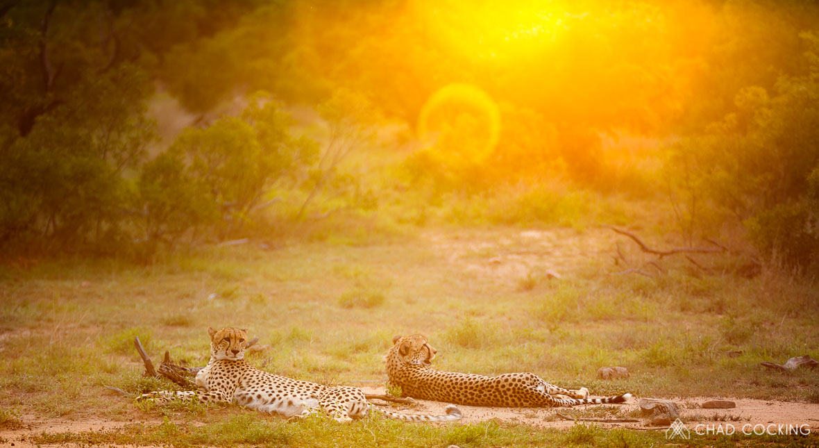 Tanda Tula - cheetah at sunset in the Timbavati