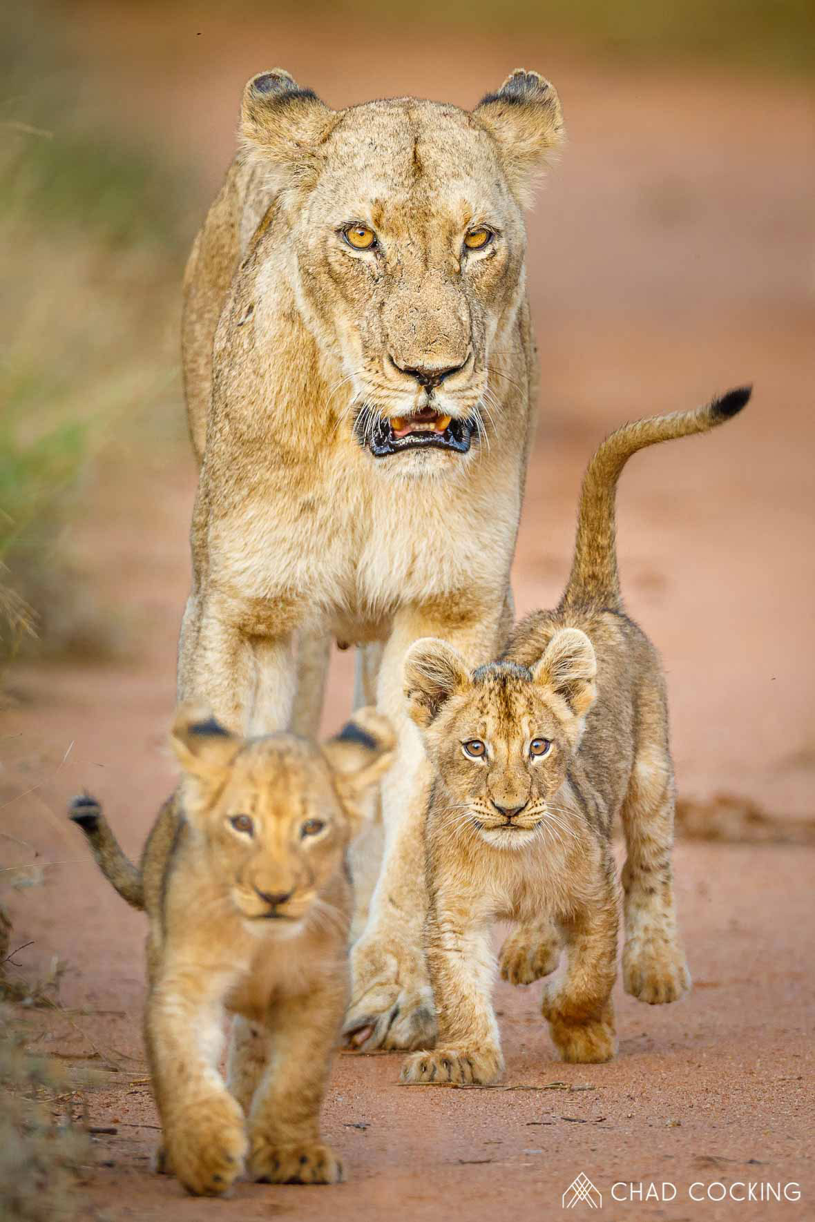 Tanda Tula - lioness and cubs on a walk in the Timbavati