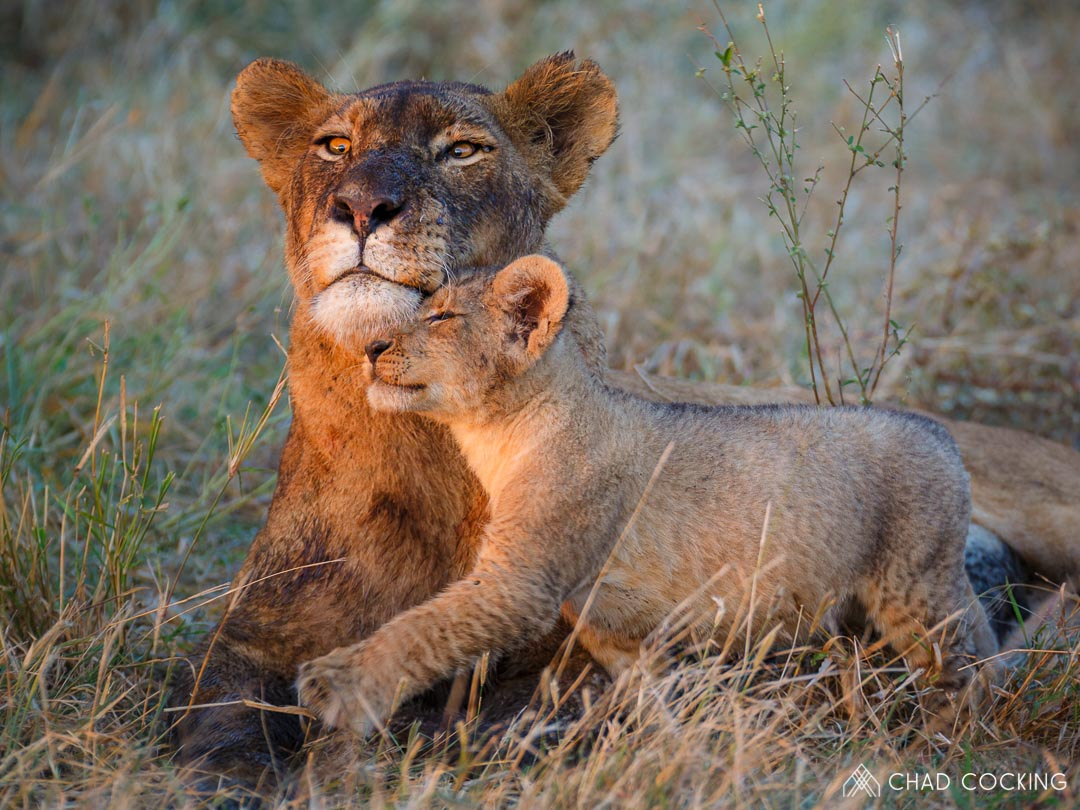 A Week Of Lively Lions In Pictures