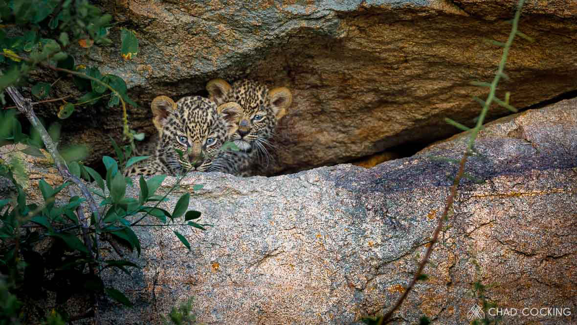 Tanda Tula - leopard cubs on safari in South Africa