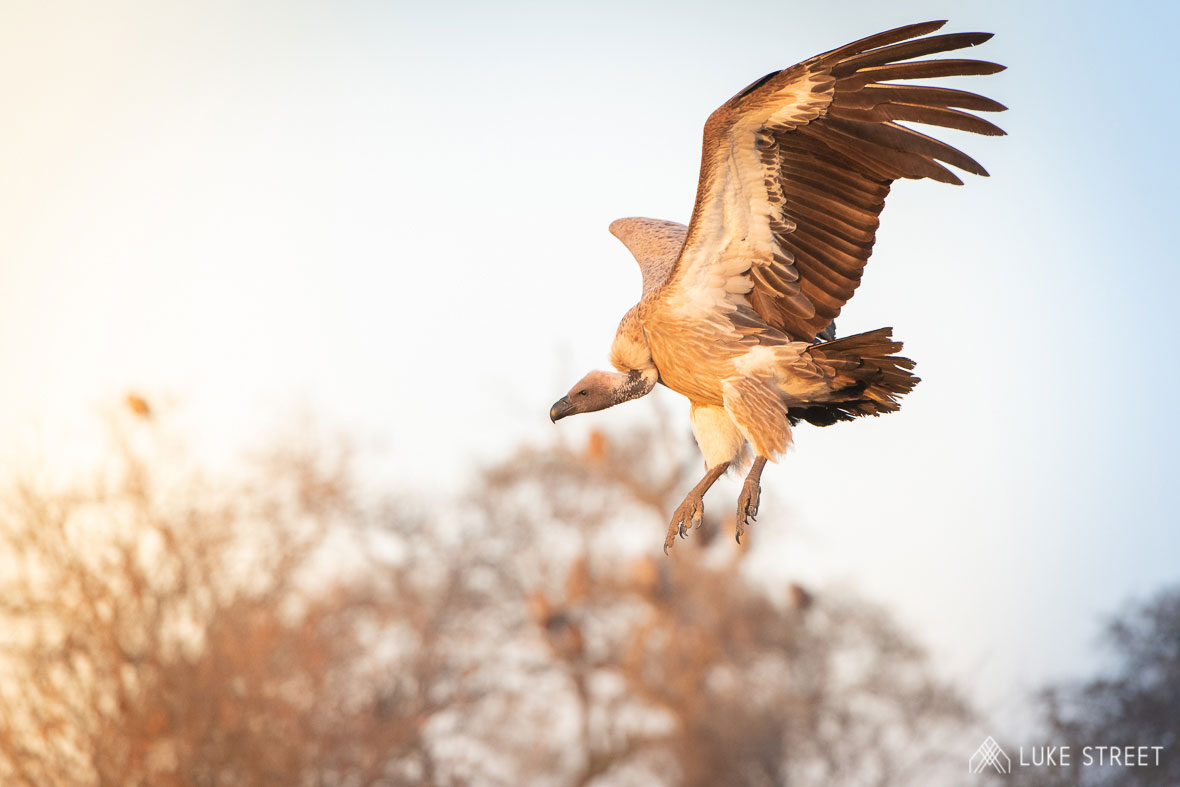 Tanda Tula - vulture in flight in the Greater Kruger