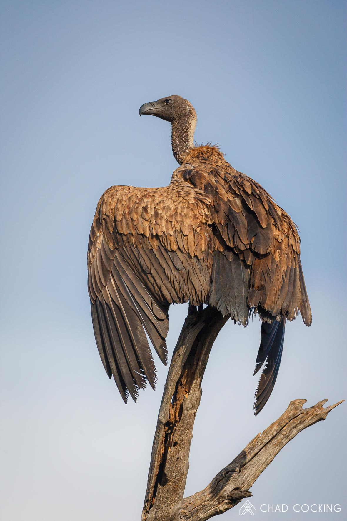 Tanda Tula - white-backed vulture on a birding safari