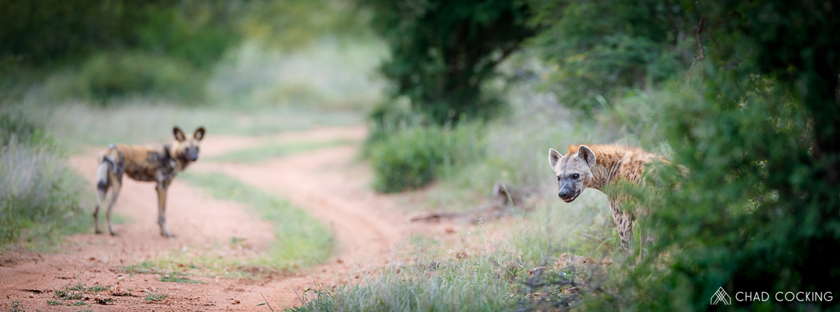 Tanda Tula - wild dog and hyena in the Timbavati, South Africa
