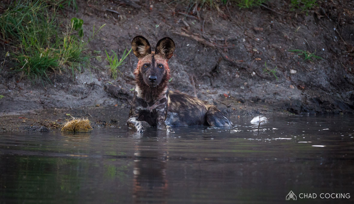 Tanda Tula - a wild dog bath in the Greater Kruger, South Africa