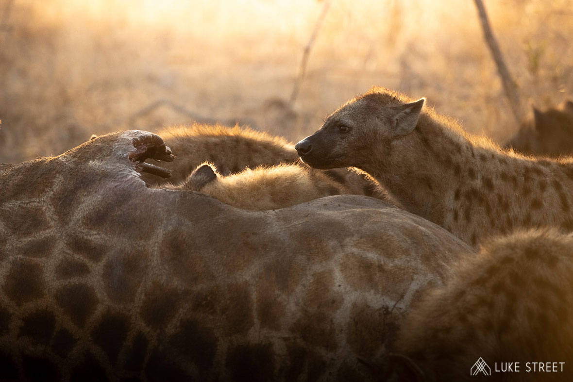 Tanda Tula - wild dogs on a giraffe kill in the Greater Kruger