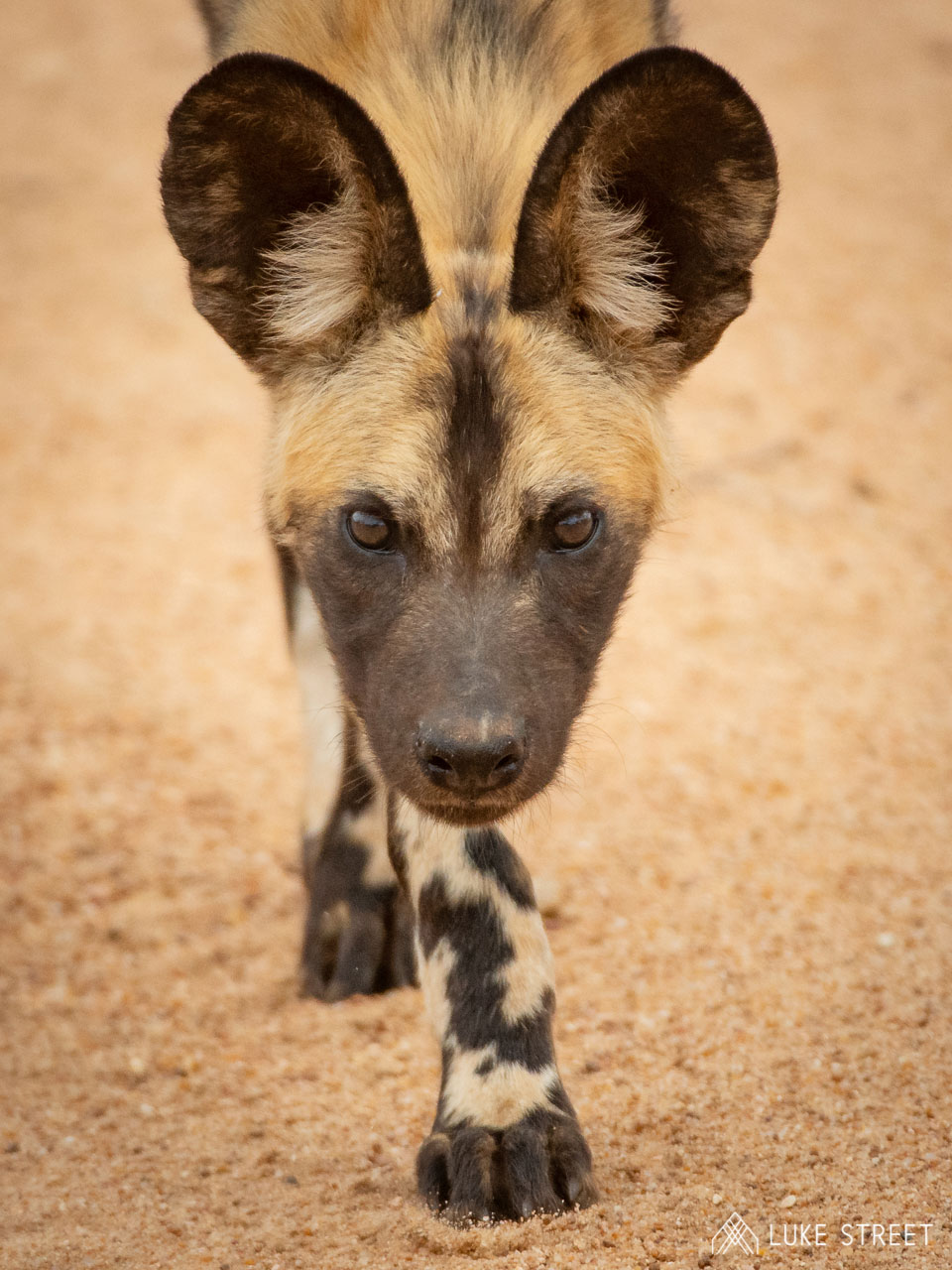 Tanda Tula - Wild dog portrait in the Greater Kruger