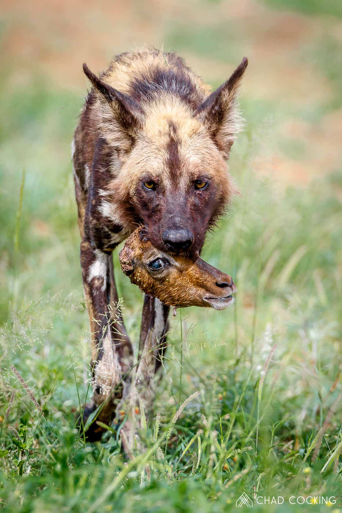 Tanda Tula - wild dog with the remains of an impala kill