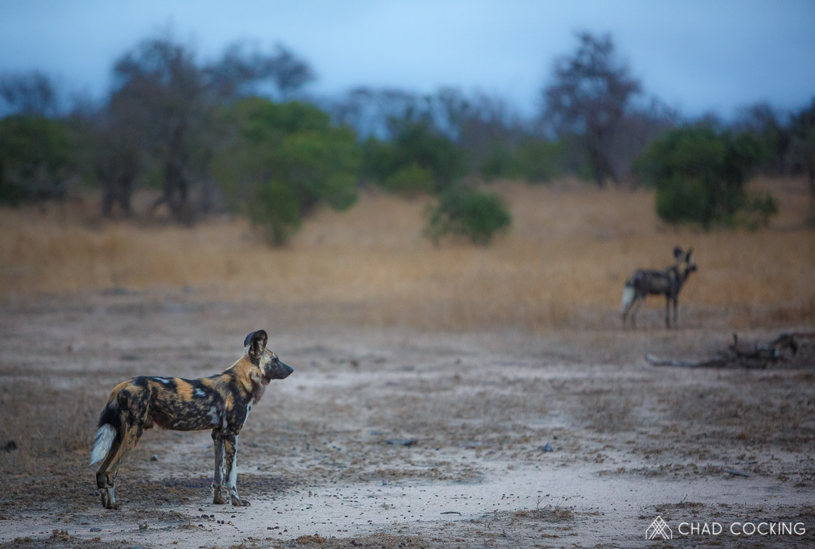 Wild dogs at Tanda Tula in the Timbavati Game Reserve, part of the Greater Kruger National Park, South Africa - Photo credit: Chad Cocking