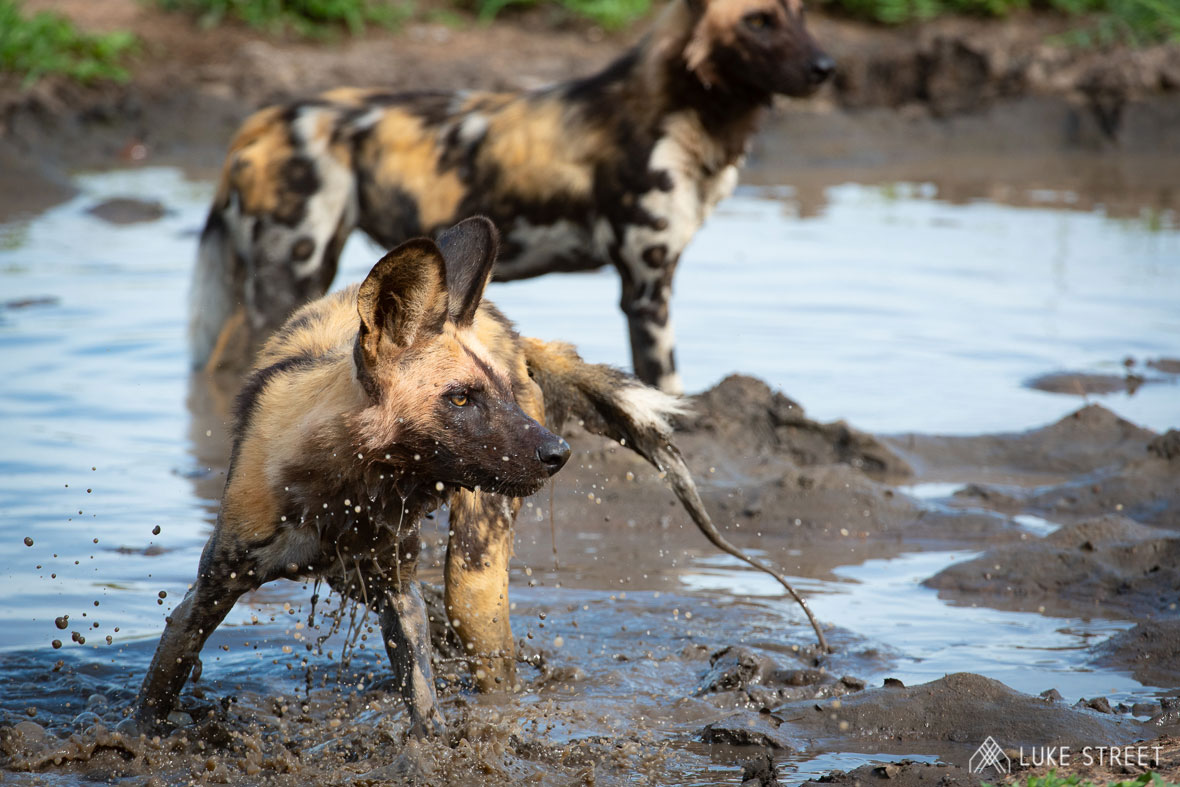 Tanda Tula - wild dogs in the mud in the Greater Kruger