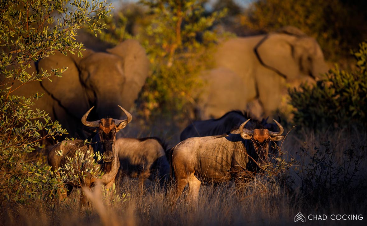 Tanda Tula - wildebeest and elephants on the best safari in South Africa