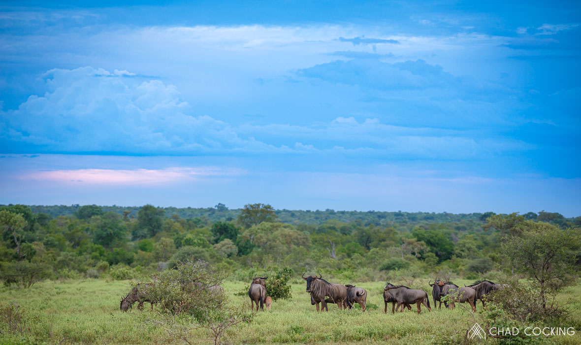 Tanda Tula - wildebeest with brewing storm