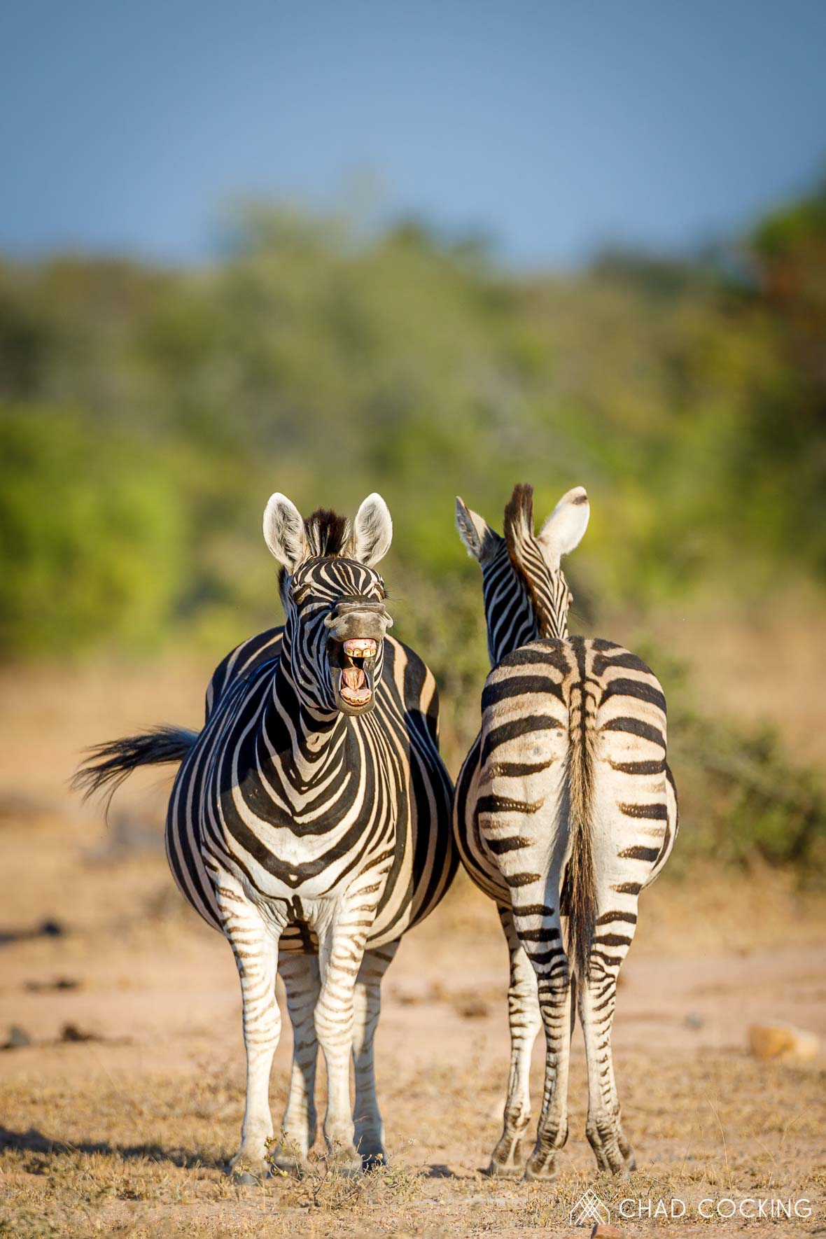 Tanda Tula - yawning zebra in the Greater Kruger, South Africa