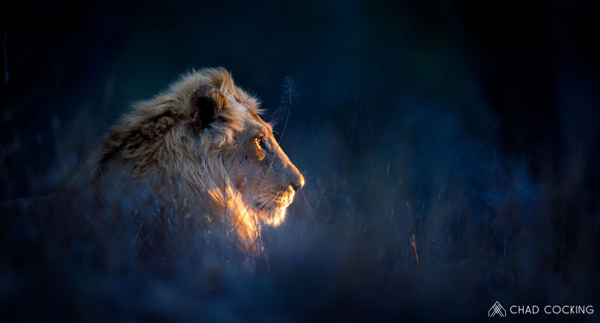 Tanda Tula - River Pride male in the darkness in the Greater Kruger, South Africa