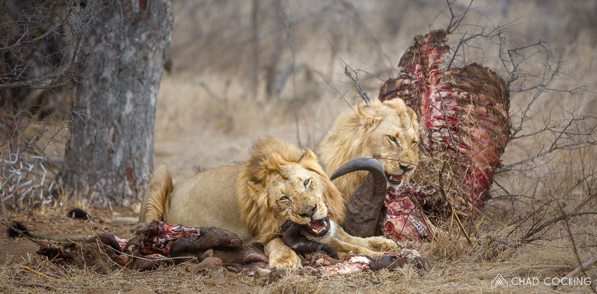 Tanda Tula - young River Pride males lions feeding on a buffalo kill in the Greater Kruger, South Africa