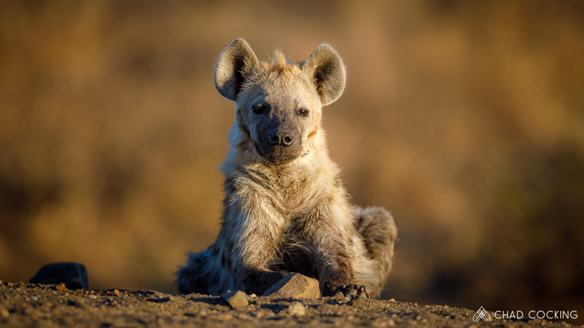 Young hyena at Tanda Tula in the Timbavati Game Reserve, part of the Greater Kruger National Park, South Africa - Photo credit: Chad Cocking