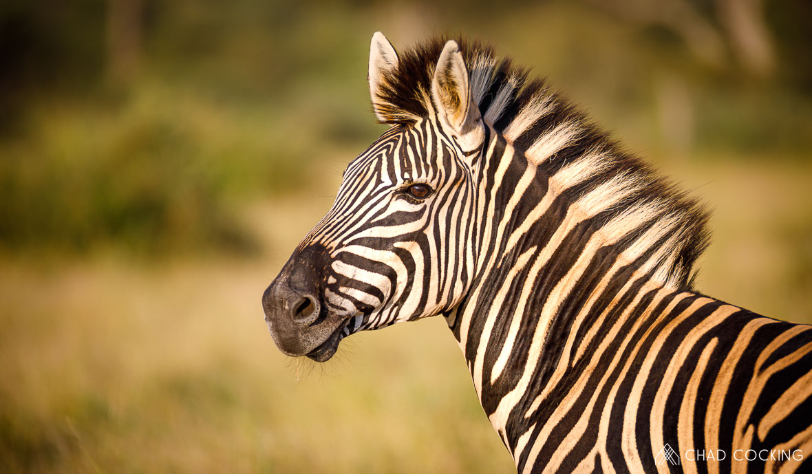Tanda-Tula zebra, Chad Cocking