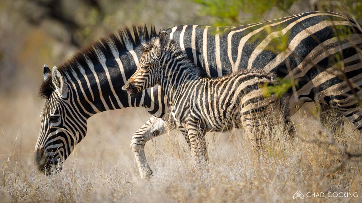 Zebra foal at Tanda Tula in the Timbavati Game Reserve, part of the Greater Kruger National Park, South Africa - Photo credit: Chad Cocking