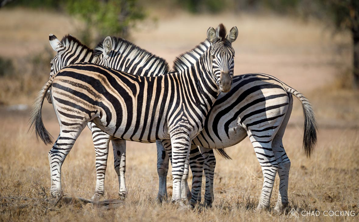 Zebra Herd at Tanda Tula in the Timbavati Game Reserve, part of the Greater Kruger National Park, South Africa - Photo credit: Chad Cocking