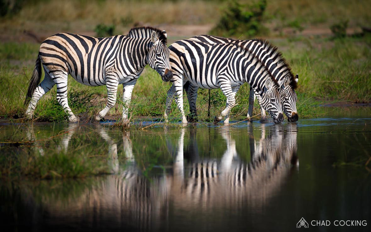 Tanda Tula - zebra herd drinking in the Timbavati