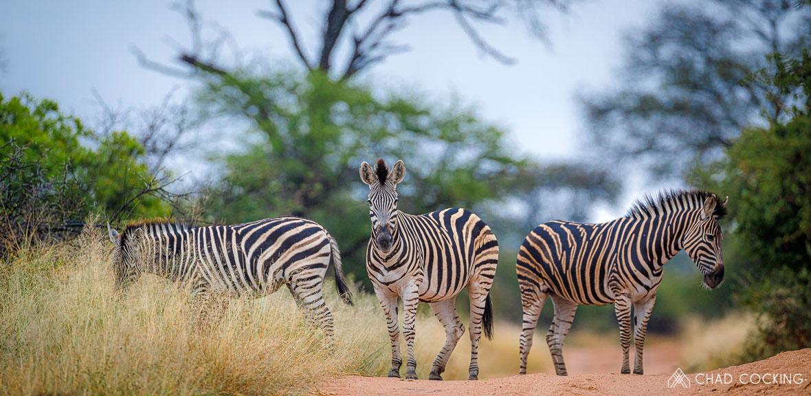 Tanda Tula - zebra herd in the Greater Kruger, South Africa