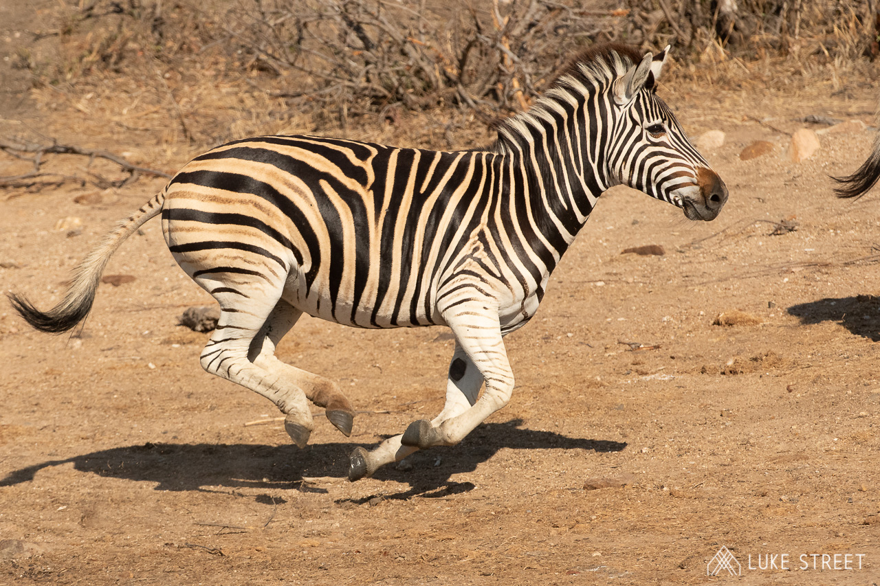 Tanda Tula - zebra running in the Greater Kruger