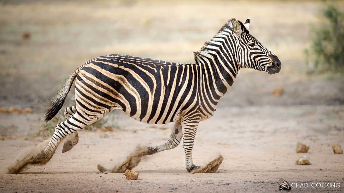 Zebra running at Tanda Tula in the Timbavati Game Reserve, part of the Greater Kruger National Park, South Africa - Photo credit: Chad Cocking
