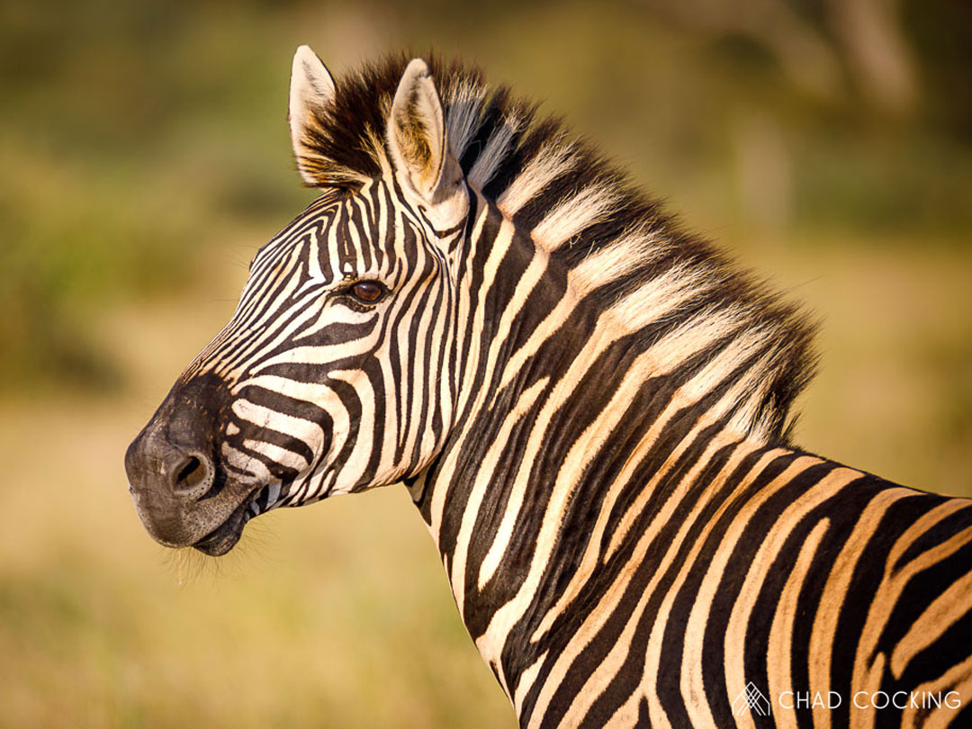 10 Dazzling Facts About Zebras