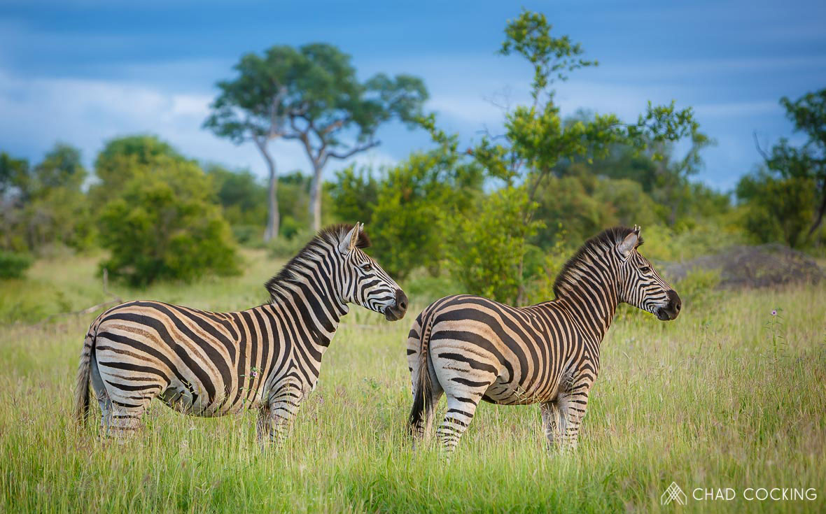 Tanda Tula Zebras in the Greater Kruger, South Africa