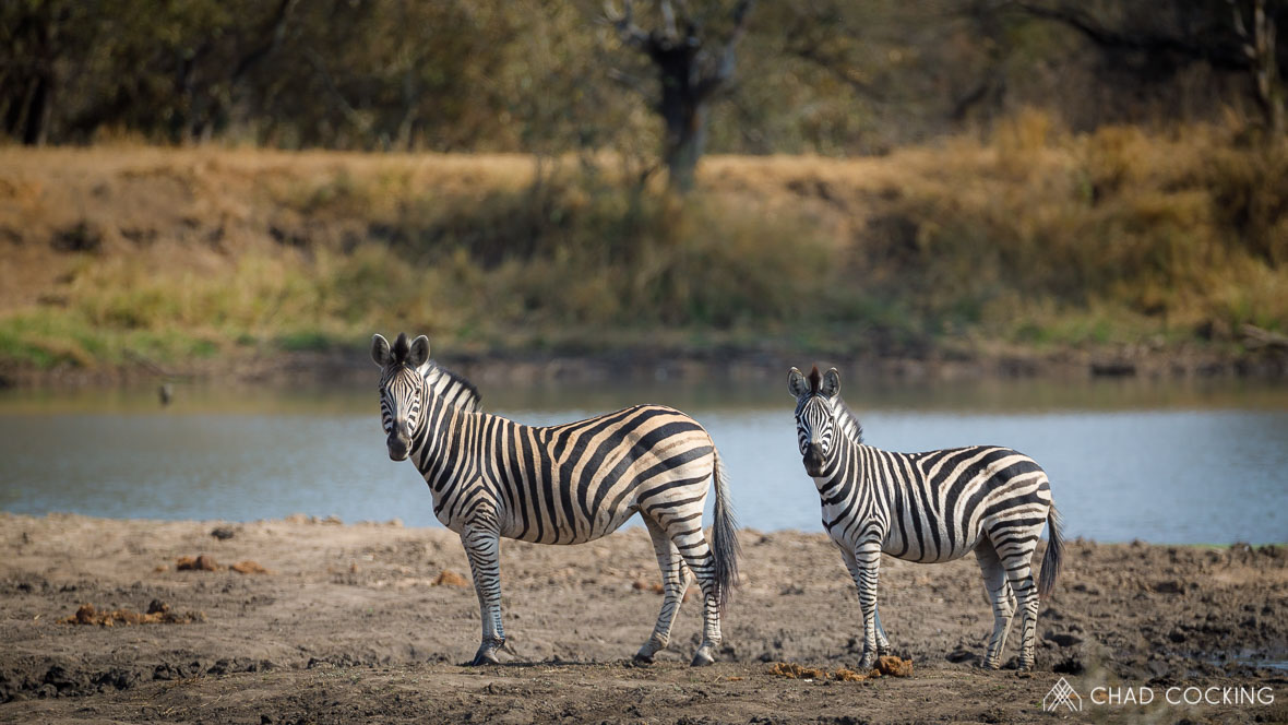 Zebras at Tanda Tula in the Timbavati Game Reserve, part of the Greater Kruger National Park, South Africa - Photo credit: Chad Cocking