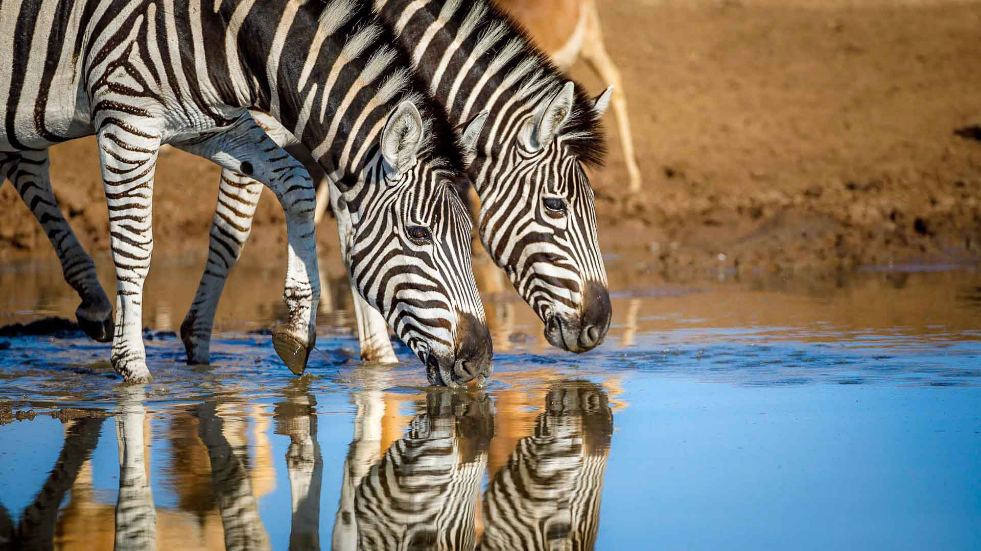 Tanda Tula - zebras and impalas drinking