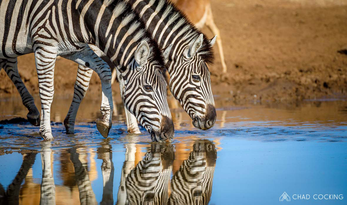 Tanda Tula - Zebra's drinking in the Greater Kruger, South Africa