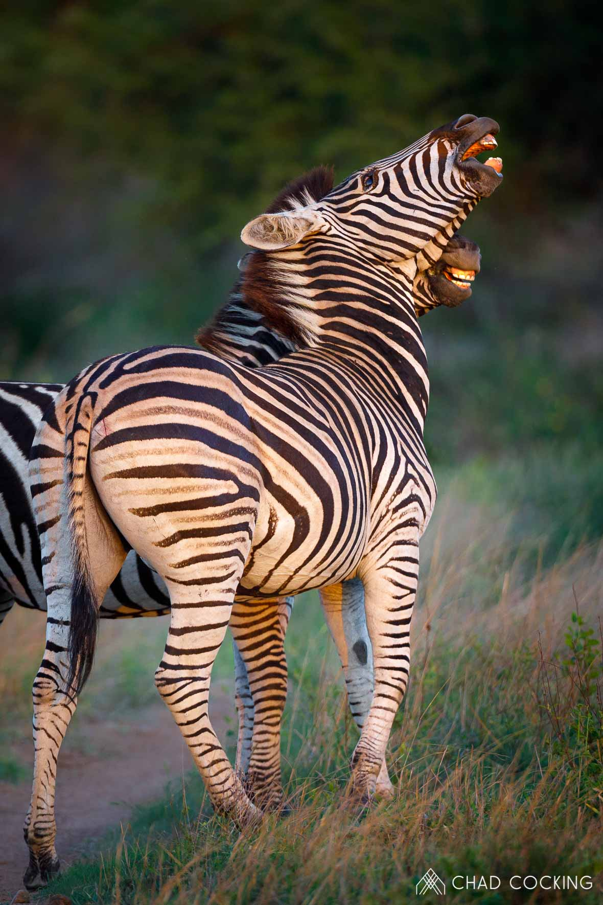 Tanda Tula - zebra sparring in the Timbavati