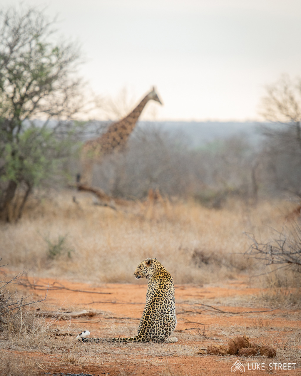 Tanda Tula - Leopard and giraffe in the Greater Kruger, South Africa
