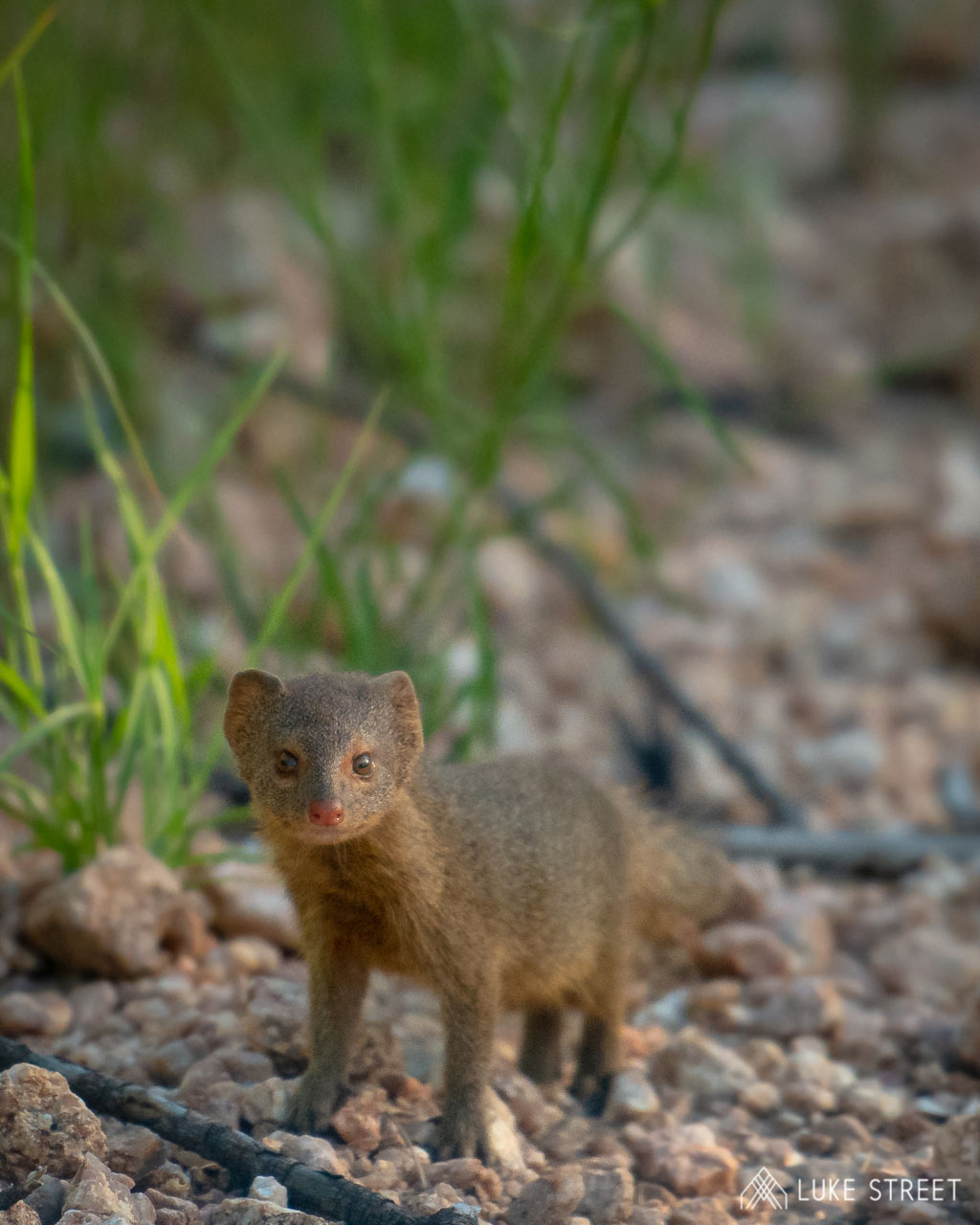 Tanda Tula - slender mongoose in the Greater Kruger