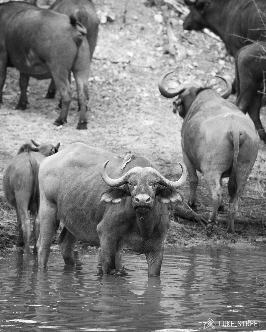 Tanda Tula - buffalo in the water in the Greater Kruger, South Africa