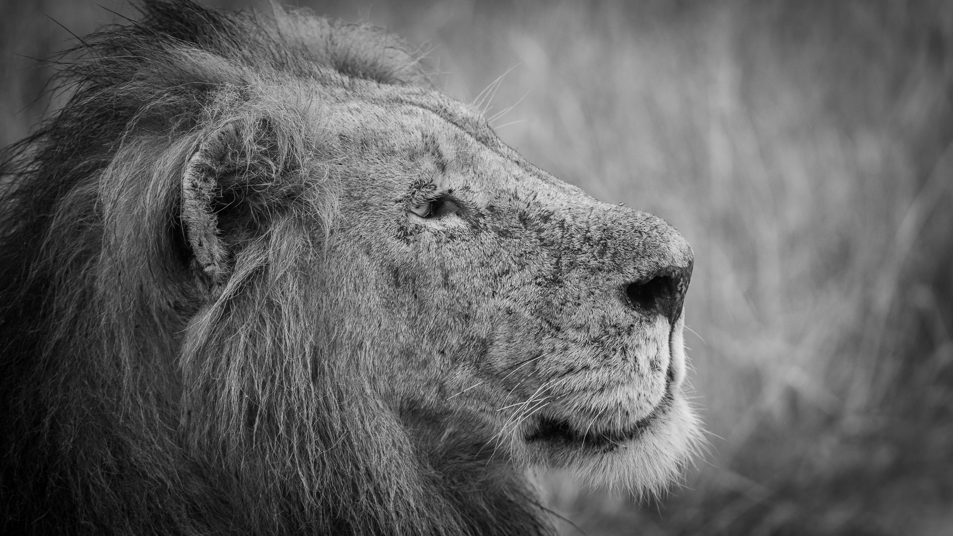 Tanda Tula - male lion in the Greater Kruger