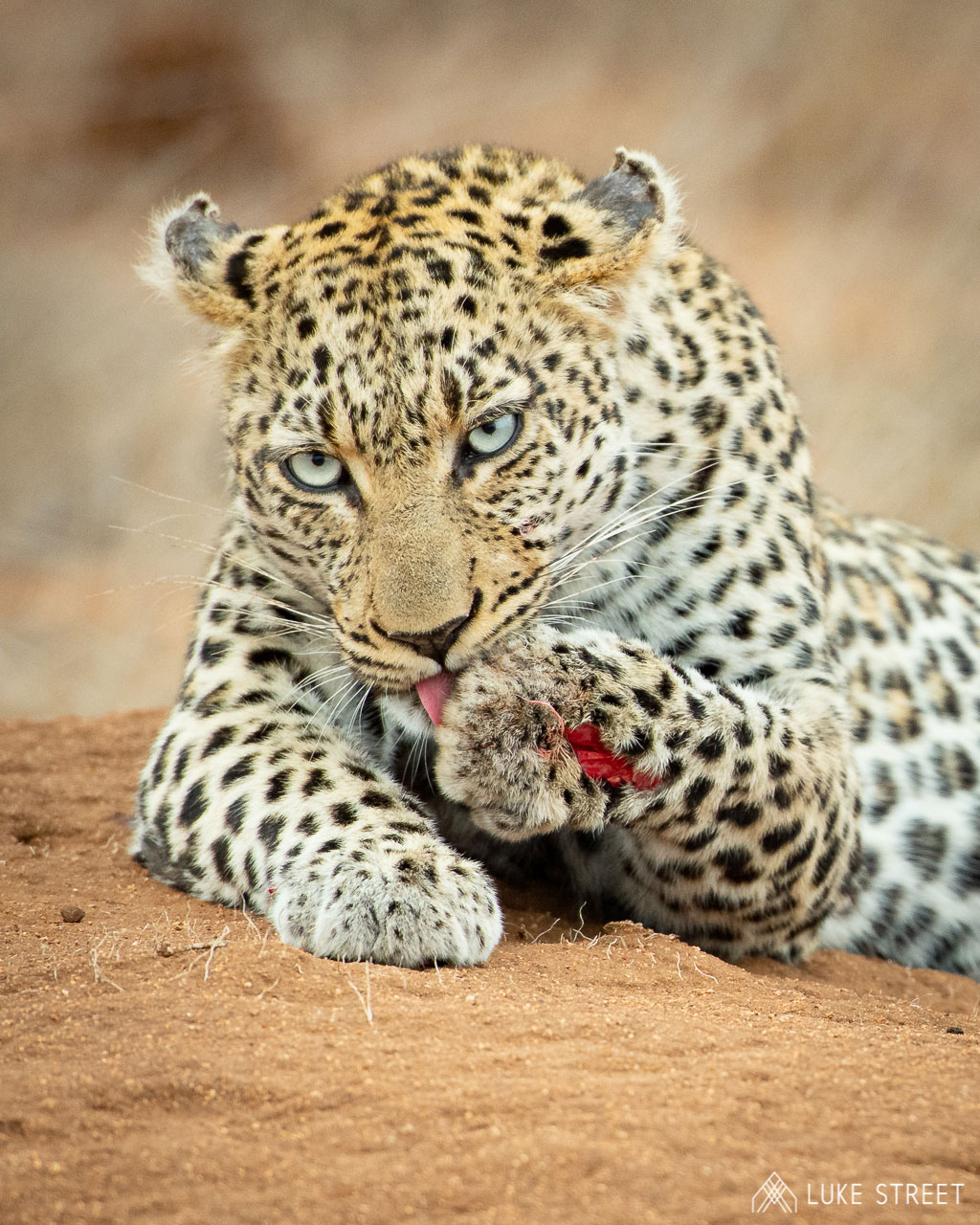 Tanda Tula - Thombela licking her wounds in the Greater Kruger