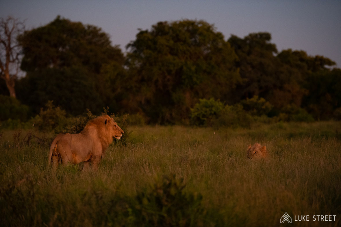 Tanda Tula - lions in the dying light in the Greater Kruger