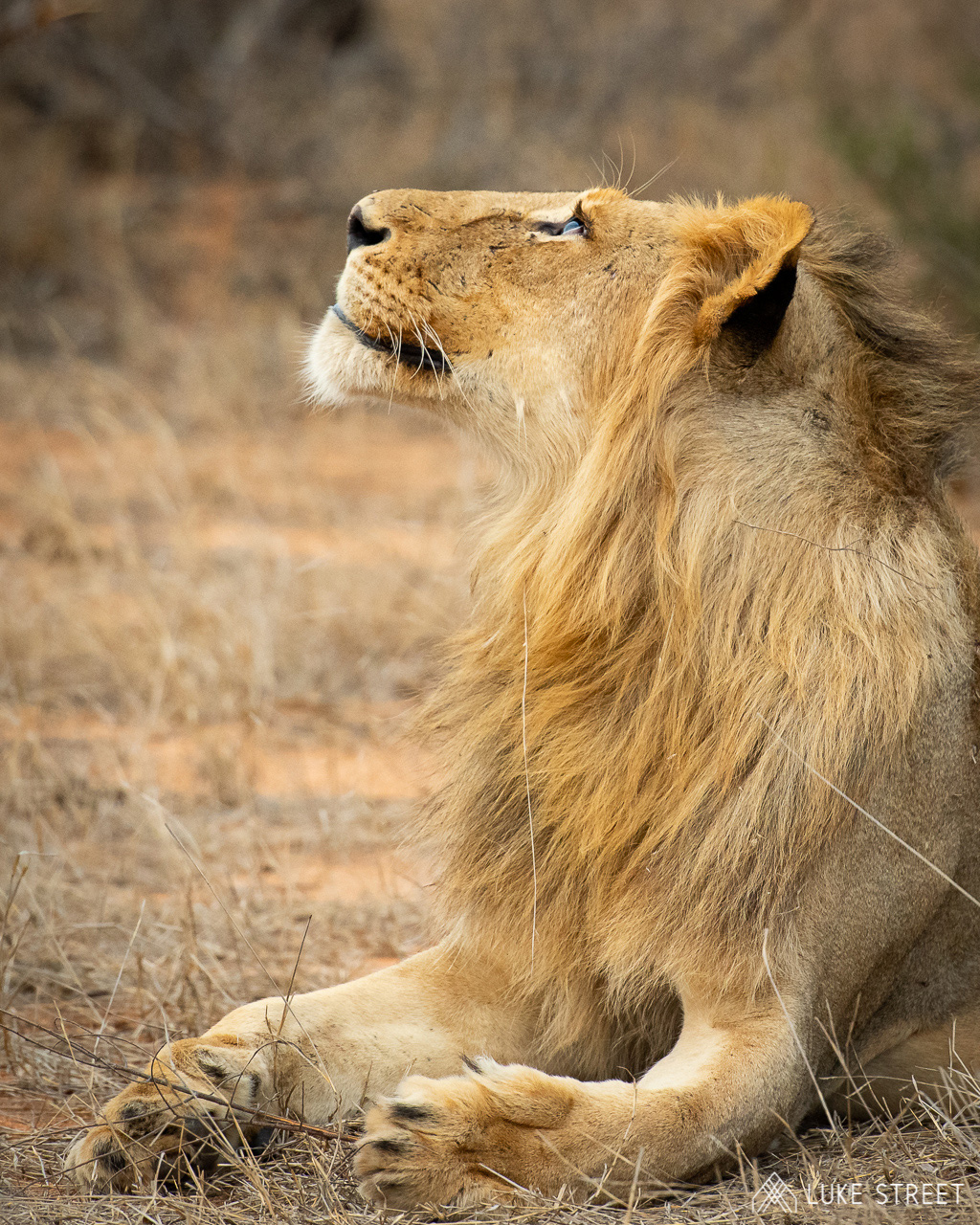 Tanda Tula - Lion looking up in the Greater Kruger, South Africa