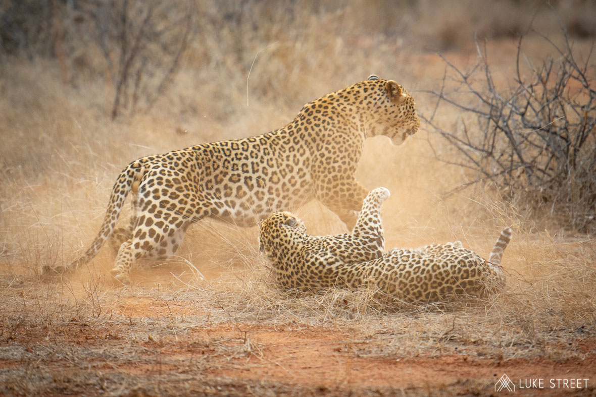 Tanda Tula - leopards having a brawl in the Greater Kruger, South Africa