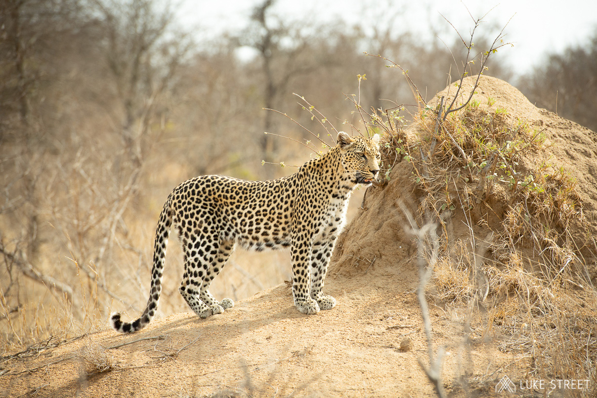 Tanda Tula - Ntombi enjoying the view of the Greater Kruger, South Africa