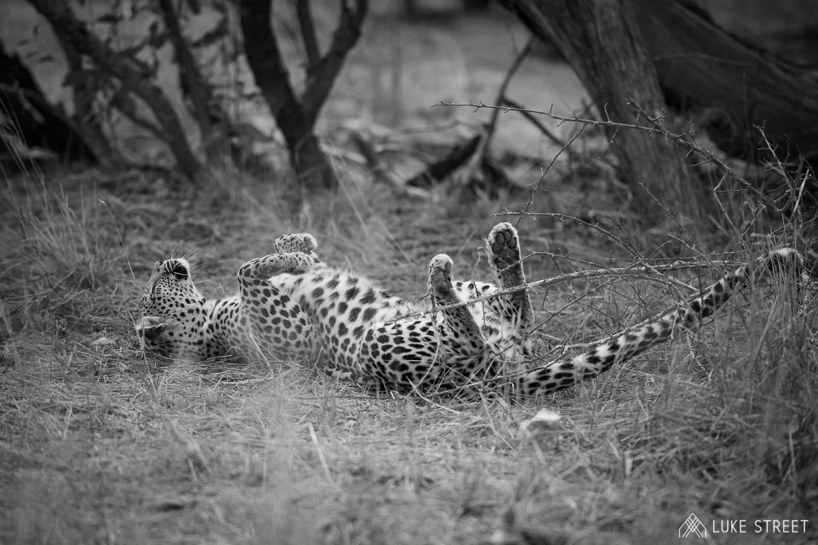 Tanda Tula - Ntombi rolling around in the grass in the Greater Kruger, South Africa