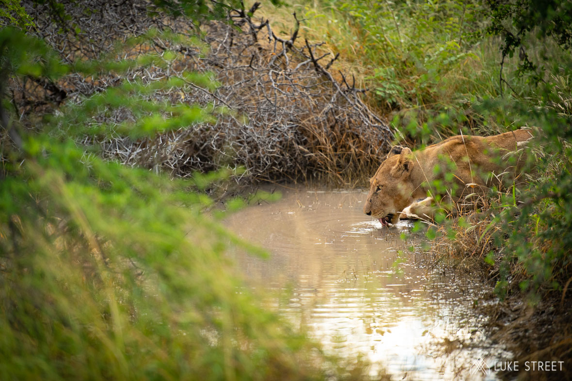 Tanda Tula - River Pride female drinking in the Greater Kruger