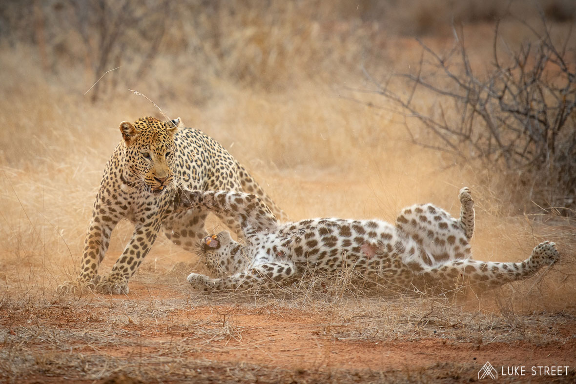 Tanda Tula - leopards fighting in the Greater Kruger, South Africa