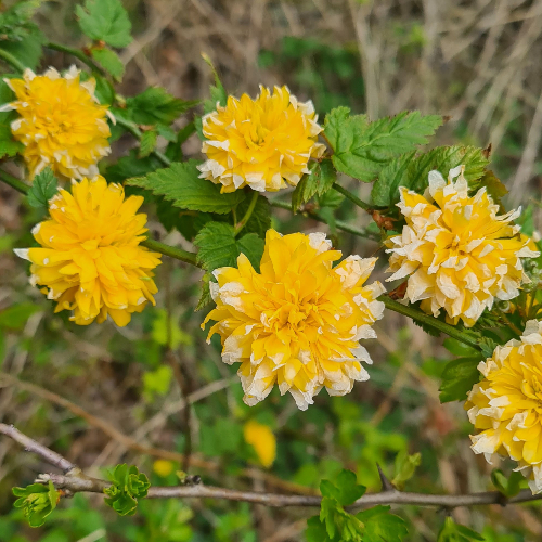 hedgerow flower
