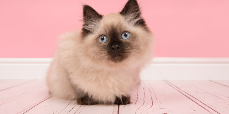 Moving house with a cat . kitten sitting in an empty pink room.