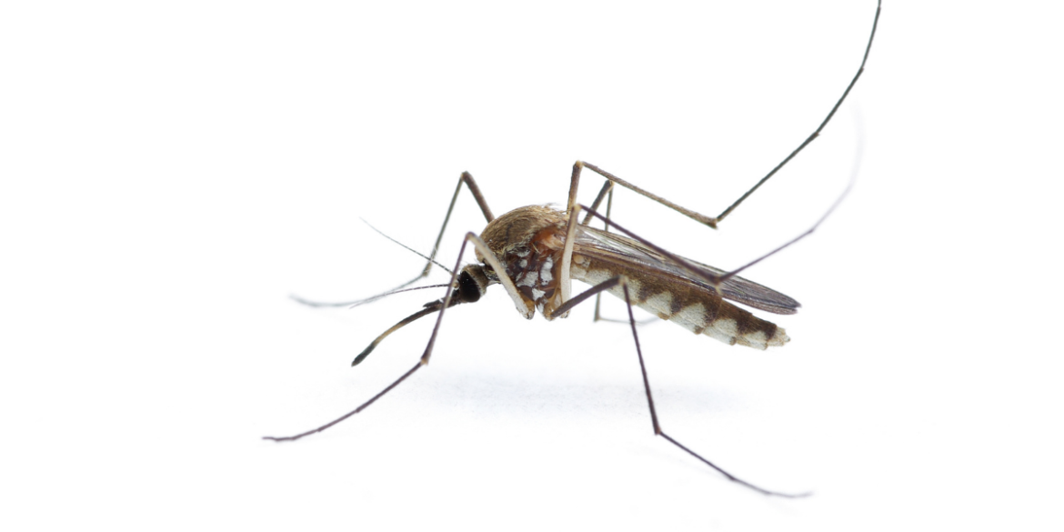 mosquito flies in the house