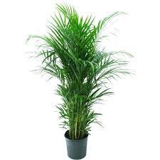 Indoor plants - Areca Palm