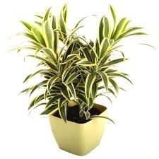 Indoor plants - Song of India