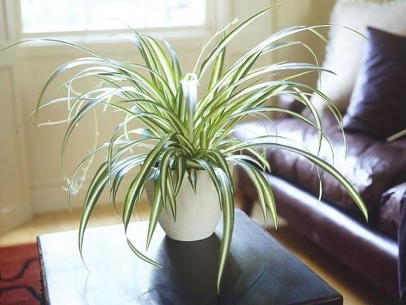 Indoor plants - Spider plant